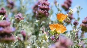 Wüstenblume (Nevada)